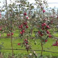 Die noch jungen Bäume hängen voll mit herrlichen Redloves!