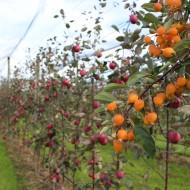 Die kleinen orangen Äpfel sind Befruchtersorten, die in regelmässigen Abständen pflanzt sind, um die Befruchtung der Blüten mit fremdem Pollen durch die fleissigen Bienen - und damit den Fruchtansatz - zu verbessern.
