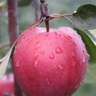 Redlove-Frucht