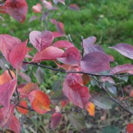 Redlove-Herbstfärbung